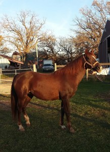 LM Red Skye Delight, Morab mare.